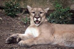 Gatto selvaggio Fotografie Stock
