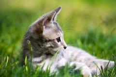 Gatto selvaggio Fotografie Stock Libere da Diritti