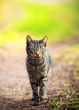 Gatto selvaggio Fotografia Stock
