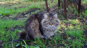 Gatto selvaggio Fotografia Stock Libera da Diritti