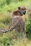 Gatto selvaggio del ghepardo di ringhio immagini stock