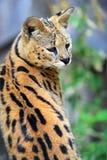 Gatto selvaggio del Serval Immagine Stock