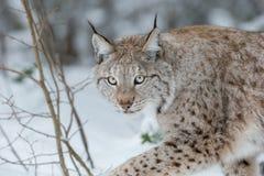 Gatto selvaggio di Lynx Fotografie Stock Libere da Diritti