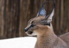Gatto selvaggio di Lynx in Africa Fotografia Stock
