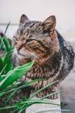 Gatto selvaggio grigio che posa sulla macchina fotografica fotografia stock