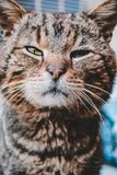 Gatto selvaggio grigio che posa sulla macchina fotografica Immagine Stock