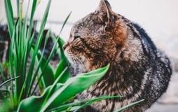 Gatto selvaggio grigio che posa sulla macchina fotografica immagini stock