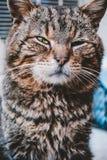 Gatto selvaggio grigio che posa sulla macchina fotografica Immagini Stock Libere da Diritti
