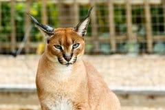 Gatto selvaggio maschio di Rooikat che vi esamina Fotografia Stock