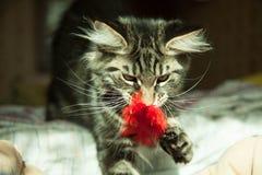 Gatto selvaggio nella casa Fotografie Stock Libere da Diritti
