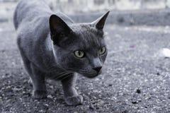 Gatto selvaggio sulla via Immagine Stock