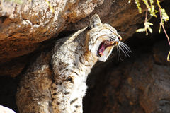 Gatto selvatico fotografia stock