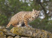 Gatto selvatico Fotografie Stock Libere da Diritti