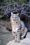 Gatto selvatico Immagini Stock