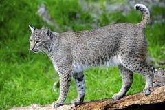 Gatto selvatico Fotografie Stock