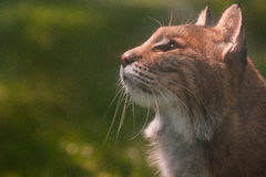 Gatto selvatico Immagine Stock Libera da Diritti