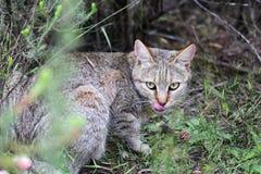 Gatto selvatico africano (lybica di silvestris del Felis) Fotografia Stock Libera da Diritti