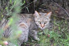 Gatto selvatico africano (lybica di silvestris del Felis) Immagine Stock