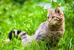 Gatto selvatico africano in prato Fotografia Stock Libera da Diritti
