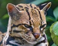 Gatto selvatico allo zoo Fotografia Stock