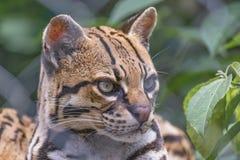 Gatto selvatico allo zoo Fotografie Stock Libere da Diritti