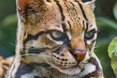 Gatto selvatico allo zoo Fotografie Stock