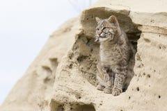 Gatto selvatico appollaiato nella formazione rocciosa dell'adobe Fotografia Stock