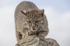 Gatto selvatico che affila gli artigli su roccia Immagini Stock Libere da Diritti