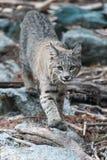 Gatto selvatico che cammina in bastoni e massi Immagini Stock Libere da Diritti