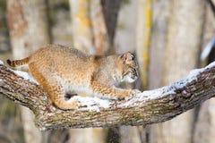 Gatto selvatico che fa segno sull'albero Immagini Stock
