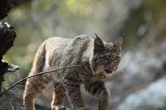 Gatto selvatico che lecca il suo proprio naso Immagine Stock Libera da Diritti