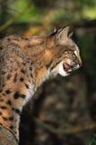 gatto selvatico che ringhia Fotografia Stock