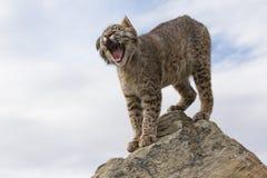 Gatto selvatico che sbadiglia sopra la roccia Fotografia Stock