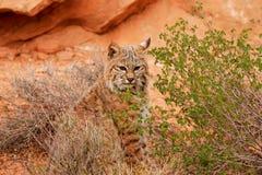 Gatto selvatico che si siede in un deserto Fotografie Stock Libere da Diritti