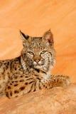 Gatto selvatico che si trova sulle rocce rosse Immagini Stock Libere da Diritti