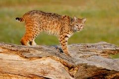 Gatto selvatico che sta su un ceppo Fotografia Stock