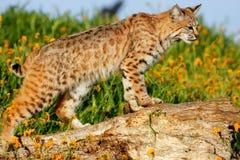 Gatto selvatico che sta su un ceppo Fotografia Stock Libera da Diritti