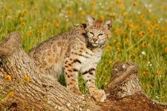 Gatto selvatico che sta su un ceppo Immagini Stock
