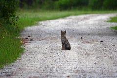 Gatto selvatico dei terreni paludosi Fotografia Stock
