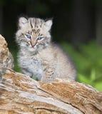 Gatto selvatico del bambino Fotografie Stock