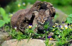 Gatto selvatico del bambino che si nasconde in un ceppo vuoto Fotografie Stock Libere da Diritti