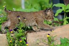 Gatto selvatico del bambino che si nasconde in un ceppo vuoto Immagini Stock