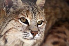 gatto selvatico di bellezza fotografia stock