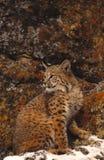 Gatto selvatico e rocce variopinte Fotografia Stock Libera da Diritti