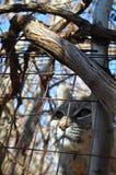 Gatto selvatico in legno Fotografie Stock