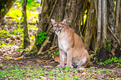 Gatto selvatico nella giungla Fotografie Stock Libere da Diritti