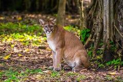 Gatto selvatico nella giungla Fotografie Stock