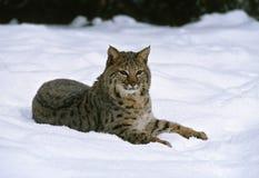 Gatto selvatico in neve Immagine Stock Libera da Diritti