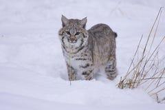 Gatto selvatico in neve bianca profonda Fotografie Stock