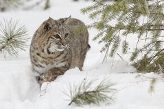 Gatto selvatico in neve bianca profonda Immagini Stock Libere da Diritti